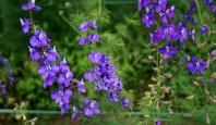 Hoa Tầm xuân và Violet
