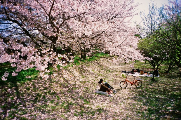 japan-cherry-blossoms-4509-1923-620x411
