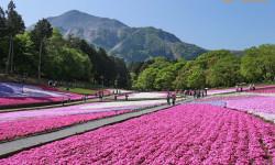 cánh đồng hoa chi anh Shibazakura