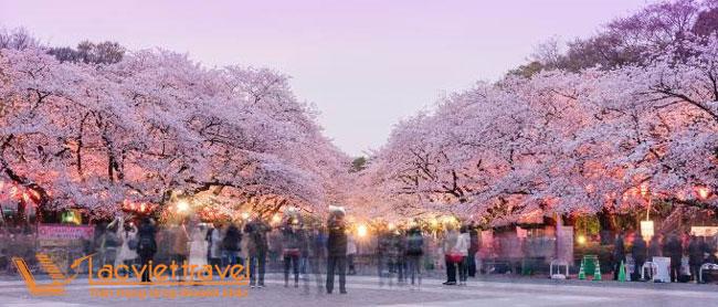 Ngắm hoa anh đào Nhật Bản