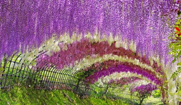 Du lịch Nhật Bản ngắm hoa tử đằng