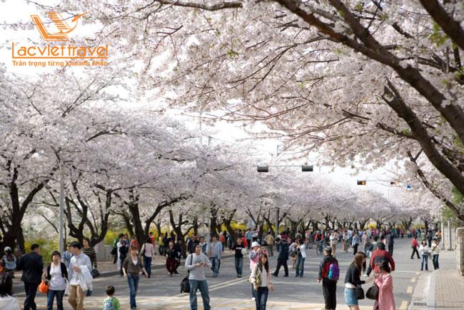 du lịch Hàn Quốc ngắm hoa anh đào