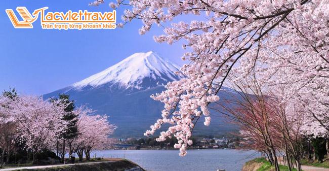 Ngắm hoa anh đào Núi Phú Sỹ