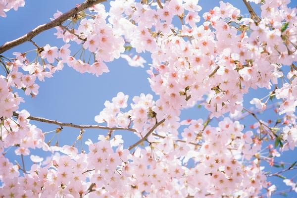 Ngắm hoa anh đào