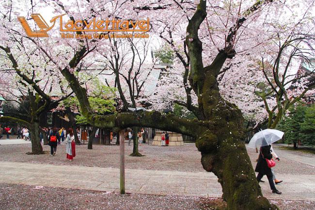 Dự báo lịch nở Hoa Anh Đào Nhật Bản 2019